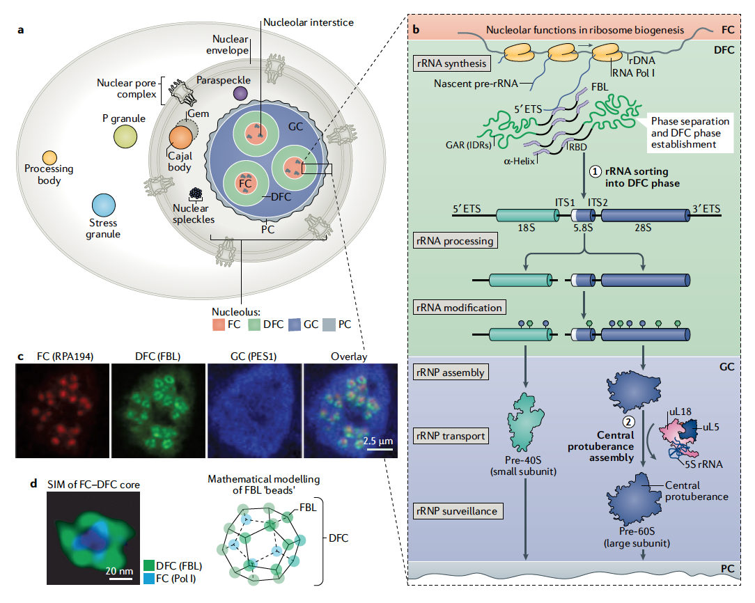 ribosome biogenesis scheme